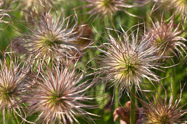 Pasque Flower Seed Heads