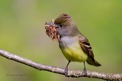 _53F6164 Great Crested Flycatcher (~ Michaela Sagatova ~) Tags: bird nature ngc dundas greatcrestedflycatcher myiarchuscrinitus specanimal colorphotoaward avianexcellence dvca coth5 michaelasagatova