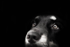 have you ever seen life through a dog's eyes? (sprinkle happiness) Tags: dog daisy hereyes blackandwhitie ijustlovehereyes bassethoundaustralianshepherdmix