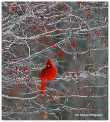 January Cardinal (Don Iannone) Tags: winter ohio tree bird nature animal cardinal wildlife january visualart sunnyday malecardinal redbird northchagrinreservation birdintree clevelandmetroparks ohiostatebird godscreature nikond80 doniannone mayfieldvillageohio