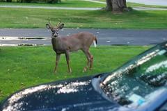 I'm a Deer!