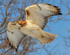 The Hawk!! (JRIDLEY1) Tags: tree bird flying nikon raptor d3 redtailhawk naturesfinest nikon80400vr zenfolio platinumphoto anawesomeshot impressedbeauty brightonmichigan goldstaraward rubyphotographer thewonderfulworldofbirds jridley1 jimridley photocontesttnc09 dailynaturetnc09 httpjimridleyzenfoliocom photocontesttnc10 lifetnc10 jimridleyphotography photocontesttnc11 photocontesttnc12