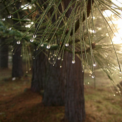 Pines (caelista) Tags: ice drops pointandshoot pinetrees wintermorning