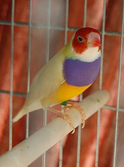 Brilliant red purple and yellow male Gouldian finch (jungle mama) Tags: finches breeding rainbowfinch breedingfinches ladygouldian gouldianfinch erythruragouldiae chloebiagouldiae gouldianfinches gouldsfinch biscayneparkflorida redpurpleandyellowfinch purpleandyellowgouldian