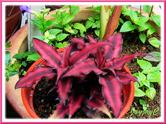 Cryptanthus bivittatus 'Ruby' in the foreground, taken Sept 2006