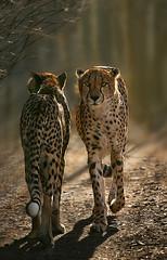 Fauna. USA, Rim-light on a cheetah (Patricia Fenn) Tags: fauna backlight canon photography zoo photographer cheetah rimlight patriciafenn patriciafenngallerycom
