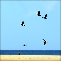 Six days, six cormorans (Ametxa) Tags: espaa andaluca cdiz tarifa playadeloslances parquenaturaldelestrecho