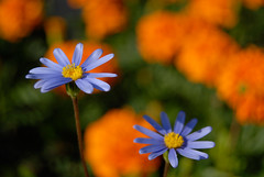 The Blue is leading (A. Saleh) Tags: flowers blue lebanon orange nature 55mm naturesfinest nikond200 supershot asaadsaleh nikon1855mmf35 rubyphotographer