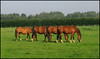 Synchrone eating ........ (betuwefotograaf) Tags: horses holland netherlands polder geldermalsen paarden gelderland betuwe platinumphoto natureselegantshots goldenheartaward artofimages betuwefotograaf flickrcinated wwwbetuwefotoeu