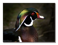 Head decoration (aviana2) Tags: animal zoo duck wing explore woodduck sonyalpha100 challengeyouwinner aviana2 fotocompetition fotocompetitionbronze vosplusbellesphotos