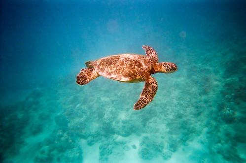 Sea Turtle-6