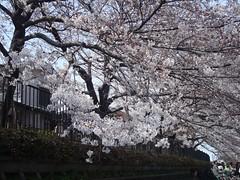 野川の桜3