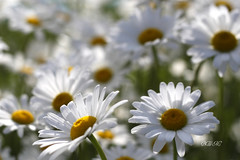 Have a Wonderful Summer! (♥ B i b b i ♥) Tags: flowers summer white flower canon 50mm flora sweden stockholm bokeh blomma sverige marguerite blommor 2009 sommar allotmentgarden 30d hässelby prästkrage oxeyedaisy vit leucanthemumvulgare canon30d canon50mmf18ii 50mmf18ii koloniträdgård hässelbyslottskoloniträdgård thehässelbycastleallotmentgarden