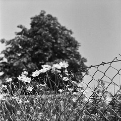 Fence flowers (melquiades1898) Tags: bw 6x6 analog germany blackwhite hessen sw analogue ilford fp4 yashica darmstadt rollfilm yashicamat124g 125asa kranichstein mittelformat schwarzweis