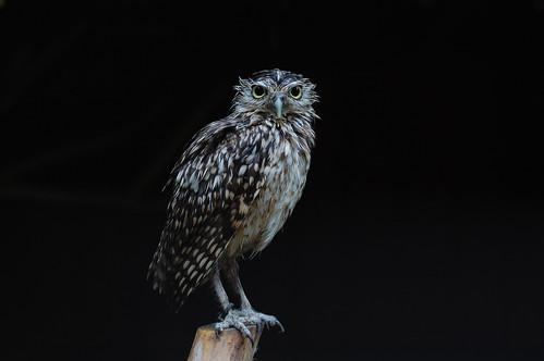 Burrowing Owl (Athene cunicularia) - 2