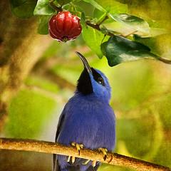Comtemplation (melepix) Tags: blue red portrait bird texture cherry book bravo searchthebest tropical getty bookcover bluebird specanimal abigfave anawesomeshot specanimaliconoftheweek colorphotoaward avianexcellence yellowleggedhoneycreeper bratanesque alemdagqualityonlyclub texturethankssolitairemiles magicunicornverybest magicunicornmasterpiece gettyinvited
