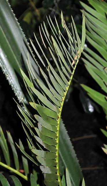 encephalartos dolomiticus2