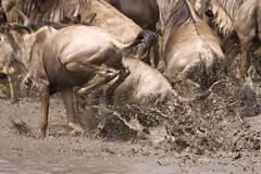 Wildebeest crossing (gerdaindc) Tags: africa kenya wildebeest masaimara wildebeestmigration 5photosaday