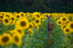 Deer In The Headlights (scottbush) Tags: sunset sunlight scott illinois bush midwest wildlife deer antlers sunflowers wheeling cookcounty greatplains sunflowerfield nikond80 nikkor18200mmf3556vr scottbush