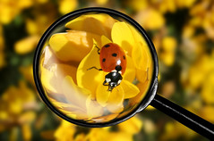 Magnifier and bug (linlaw39) Tags: life red black macro nature yellow closeup photoshop insect scotland interestingness interesting gallery edited ngc spots ladybird ladybug magnified breathtaking magnifier magnifingglass competitionwinner goldstarawardgoldmedalwinner breathtakinggoldaward colorsinourworld breathtakinghalloffame mostinterestingnovember09 linlaw39
