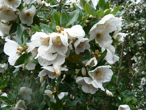 May 2016 gardeners tips eucryphia can be amongst the highlights of summer flowering trees and shrubs performing in late summer the profusion of scented white flowers on a conical mightylinksfo