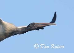 Wood Stork in Flight Closeup (dhkaiser) Tags: wood dan closeup island kaiser stork fripp flyby