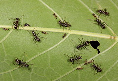 Carpenter ants tending treehoppers