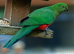 Female King parrot (Geoff Penaluna) Tags: color bird birds closeup nikon dof bokeh australia melbourne victoria parrots birdwatcher 85mmf14 viewonblack d700 avianexcellence nikond700