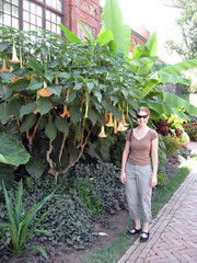 huge trumpet vine at biltmore