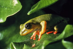 Treefrog (Foto Martien) Tags: fab holland tree green netherlands dutch animal analog forest rainforest nederland amphibian slide dia guyana scan frog jungle tropical analogue rana frosch treefrog grenouille surinam kikker suriname analoog hylidae diascan boomkikker frenchguiana minolta9000 specanimal northernsouthamerica northernbrazil baumfrosch aquaterrarium scanedpicture martienuiterweerd bestcapturesaoi martienarnhem noordelijkbrazili mygearandme mygearandmepremium mygearandmebronze mygearandmesilver mygearandmegold mygearandmeplatinum mygearandmediamond dblringexcellence