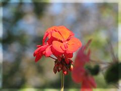 HBW (Lara-queen) Tags: flower nature fleur canon ilovenature bokeh naturallight geranium soe naturesfinest ensoleill bokehlicious natureselegantshots laraqueen