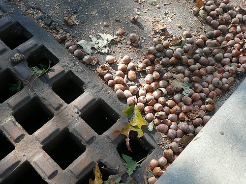 Acorns galore