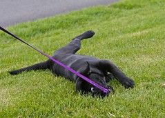 Rolling and chewing leash