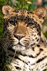 Watching Leopard (Jamie Willmott) Tags: cats cat kent wildlife leopard wildanimal wildcat rare sthelens bigcats sainthelens amurleopard willmott wildlifeheritagefoundation whf jamiewillmottphotography jamiewillmott endangeredbigcats wildlifeheratigefoundation