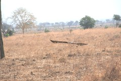 Martial Eagle attacking young Impala - 10 - Mikumi NP, Tanzania