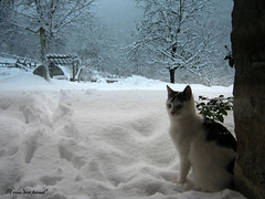 I'm waiting for you, guys! It's still snowing!!! (Xena*best friend*) Tags: wood winter wild italy pet cats pets snow cold animals fur chats furry woods feline tiger freezing kitty kittens whiskers piemonte gato paws gatto katzen feral wildanimals 5megapixel michaeld michaeldouglas playfulcats canondigitalixus50 piedmontitaly bestofcats catsinthesnow flickrlovers 5prettykittycommentspartiv alleycatalliesallrightsreserved