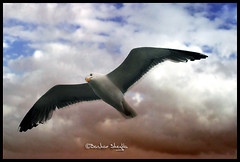 Flight of The Sea Gull ! (Bashar Shglila) Tags: sea sky bird birds clouds wings jay seagull gull flight seed     vosplusbellesphotos