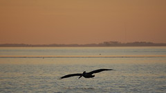 Sunset soaring (MettaMomma) Tags: pink sunset bird water animal silhouette florida flight abigfave stmarkswildliferefuge