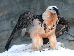 Bartgeier / Lmmergeier  / Bearded Vulture (Gypaetus barbatus) (Sexecutioner) Tags: portrait bird nature birds animal animals digital canon germany zoo colorful hessen frankfurt wildlife natur vulture vgel 2009 bearded vogel frankfurter quebrantahuesos zoofrankfurt barbatus bartgeier lammergeier beardedvulture gypaetusbarbatus lammergier gypatebarbu lmmergeier avianexcellence  lammgam gypaetus partakorppikotka quebraossos goldgeier knochenbrecher goldstaraward orosp avvoltoiobarbuto copyrightsexecutioner bartadler bartfalk berggeier beinbrecher baardaasvo orlosupbradat lammegrib lambagammur  baardaasvoel  gamrn