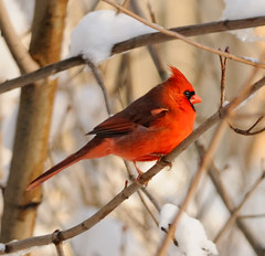 Sunset Cardinal (NikonJim) Tags: snow tree bird cardinal explore avian cardinaliscardinalis d300 northerncardinal 300mmf4 blueribbonwinner tc17eii explored allrightsreserved goldstaraward nikonjim