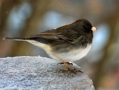 Snowbird (Uncle Phooey) Tags: winter bird ice junco explore avian darkeyedjunco snowbird juncohyemalis sleet slatecoloredjunco icepellets unclephooey