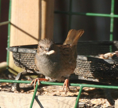 Dunnock With Sunflower Heart
