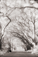 Canopy Road (Jamie Powell Sheppard) Tags: trees blackandwhite bw art film ir photo florida fineart spanishmoss bent canopy oaks canonae1program staugustine sepiatone twisty magnoliaavenue 35mmslr femalephotographer hc110dilb woodeffect 29darkredfilter kodakhiebwinfrared