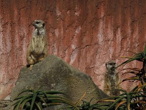 ミーアキャット meerkat