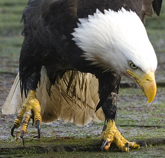 Talons (Protection Island) Tags: wild bird eye beach eagle fierce raptor killer beast americaneagle trex claws haliaeetusleucocephalus meathooks talons specanimal mywinners birdclaws avianexcellence