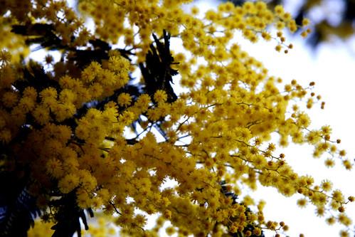 Mimosa (Castro de Troña)