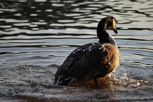 365_Goose_Swim[2009]