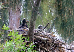 Eaglets on FEB 22 2009