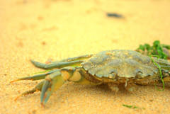 Crab (TobyHopkinsPhotography) Tags: animal sand crab beech
