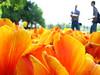 ico dado e i tulipani